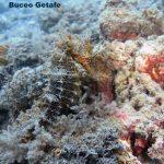 Caballito de mar buceando con Buceo Getafe en Grananda