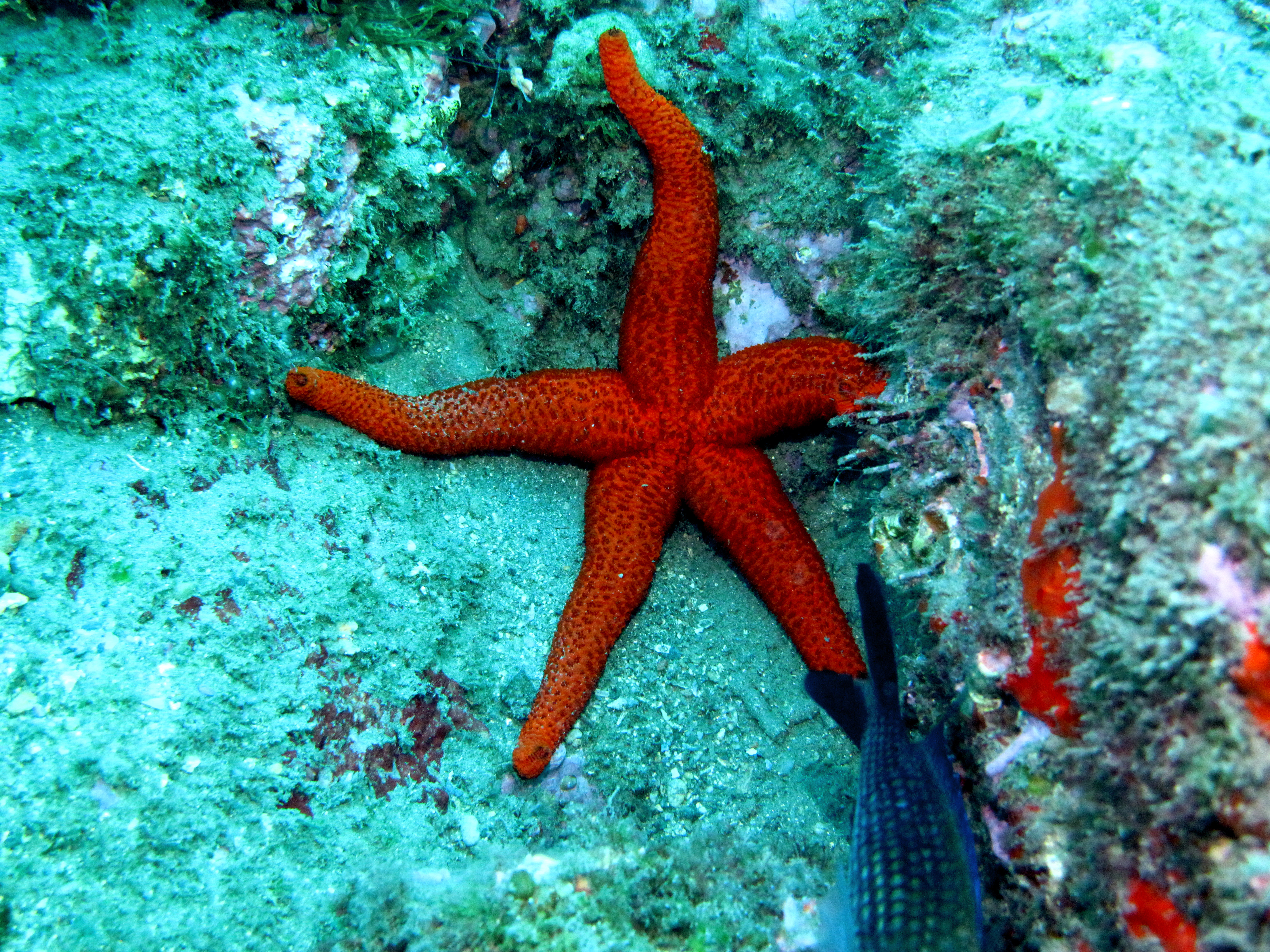 Estrella de mar - Buceo Getafe